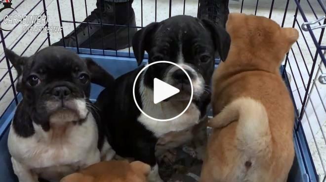 Il Traffico Di Cuccioli Di Cani Passava Per Piacenza Perquisizione