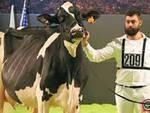 Vacche da allavamento bollati