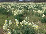 La fioritura dei narcisi sulla strada per Pigazzano