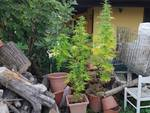 piantine di marijuana