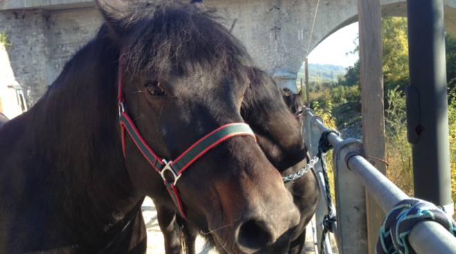 Fiera del cavallo bardigiano a Ferriere