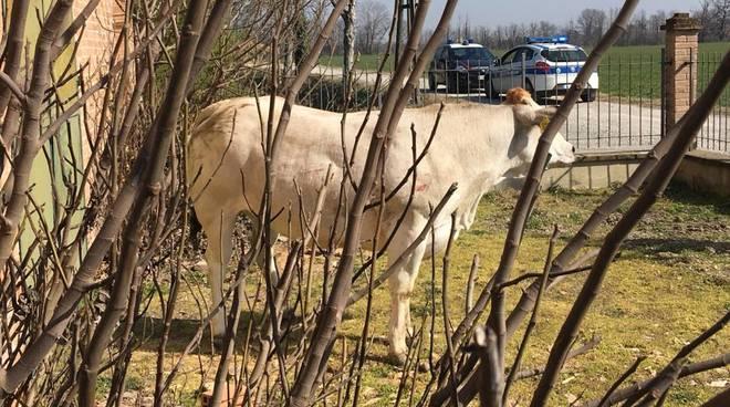 toro in fuga da un'azienda agricola di gragnanino