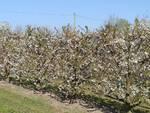 I ciliegi in fiore a Villanova