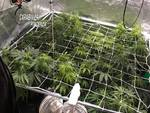 serra di marijuana carabinieri