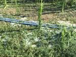 Danni agricoltura