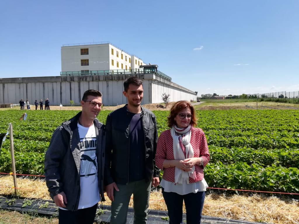 La coltivazione delle fragole alle Novate
