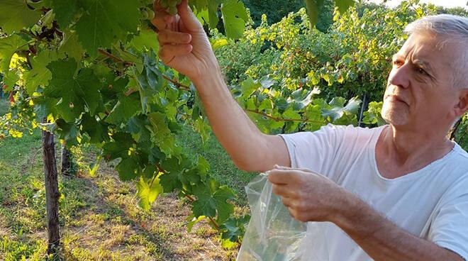 Stefano Pizzamiglio effettua il primo prelievo di acini di Sauvignon