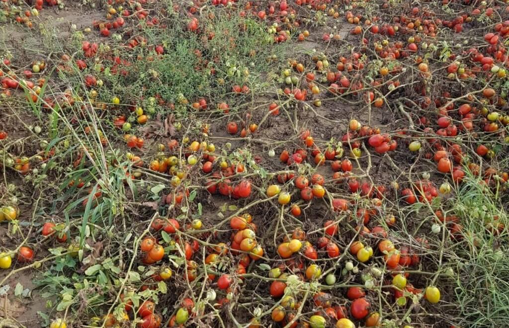 grandine danni ai pomodori