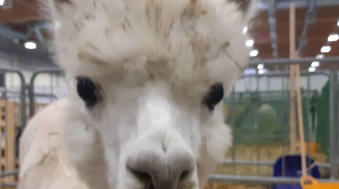 Alpaca International Show a Piacenza Expo