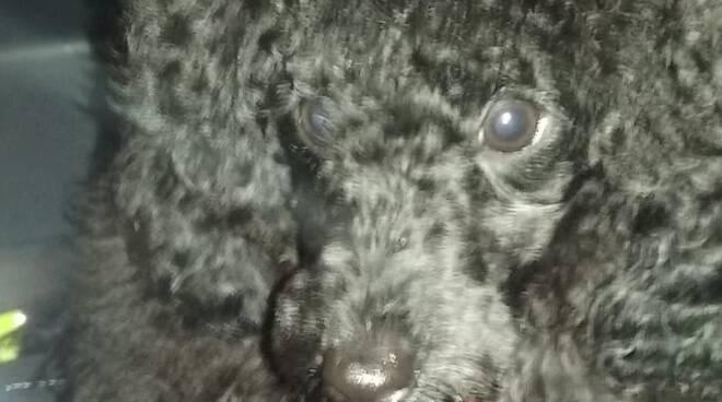 cucciolo di barboncino