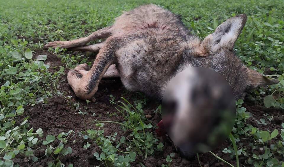 La lupa trovata morta nel Parco dello Stirone - Foto di Mauro Allegri