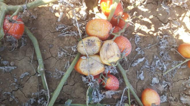 Pomodori campo