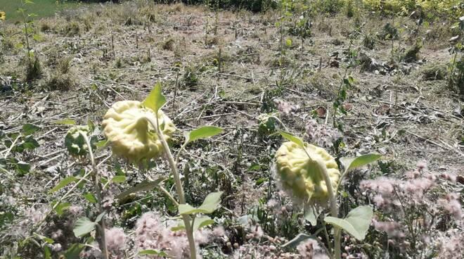 campi di girasole danneggiati dai cinghiali