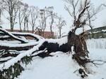Cedro caduto al parco Daturi