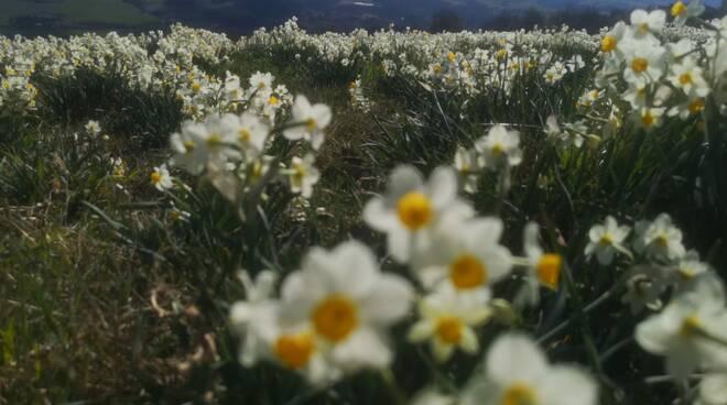 I Narcisi fioriti a Pigazzano