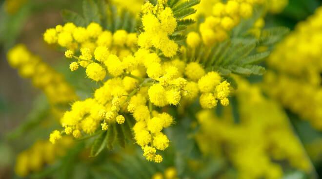 Mimosa otto marzo festa della donna