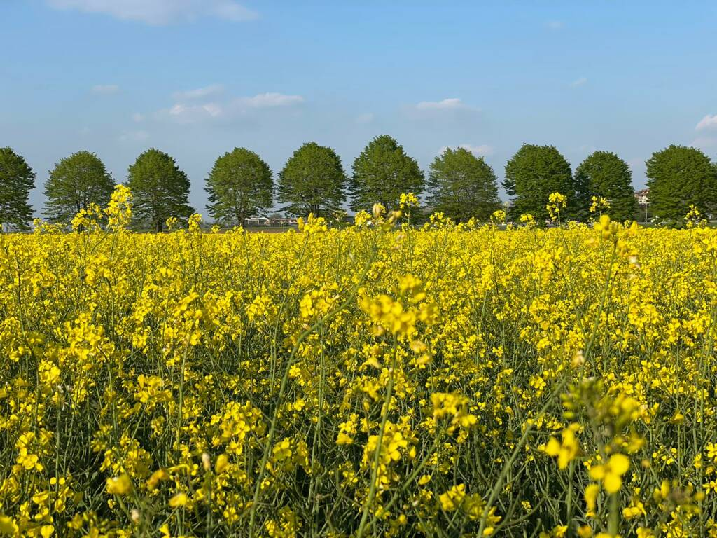 tarassaco campo fiorito