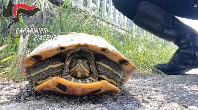 tartaruga salvata dai carabinieri